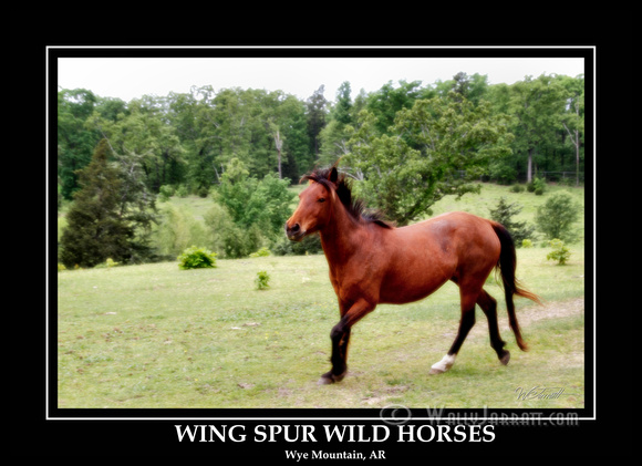 wing_spur_wild_horses1